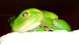 Πράσινος βάτραχος Στοκ Εικόνες