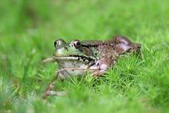 Πράσινος βάτραχος Στοκ φωτογραφίες με δικαίωμα ελεύθερης χρήσης