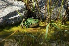 Πράσινος βάτραχος Στοκ εικόνες με δικαίωμα ελεύθερης χρήσης