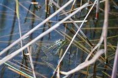 Πράσινος βάτραχος Στοκ Φωτογραφίες