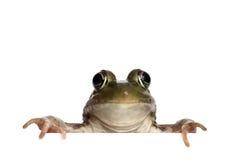 Πράσινος βάτραχος (Rana Clamitans) Στοκ εικόνα με δικαίωμα ελεύθερης χρήσης