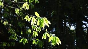 Πράσινος βγάζει φύλλα και διακλαδίζεται στον αέρα απόθεμα βίντεο