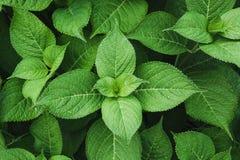 Πράσινος βγάζει φύλλα του hydrangea με τις σταγόνες βροχής επάνω από την όψη ενάντια ανασκόπησης μπλε σύννεφων πεδίων άσπρο σε wi Στοκ Εικόνες