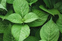 Πράσινος βγάζει φύλλα του hydrangea με τις σταγόνες βροχής επάνω από την όψη ενάντια ανασκόπησης μπλε σύννεφων πεδίων άσπρο σε wi Στοκ εικόνα με δικαίωμα ελεύθερης χρήσης