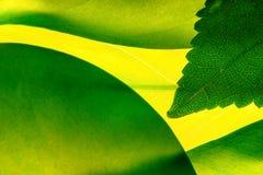 πράσινος βγάζει φύλλα Στοκ Εικόνες