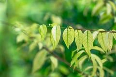 πράσινος βγάζει φύλλα, πράσινο υπόβαθρο Στοκ Φωτογραφίες