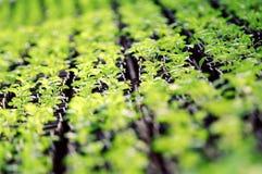Πράσινος βγάζει φύλλα της λεπτομέρειας φυτών σαλάτας Στοκ εικόνα με δικαίωμα ελεύθερης χρήσης