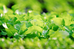 Πράσινος βγάζει φύλλα της λεπτομέρειας φυτών σαλάτας Στοκ Εικόνες