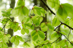 Πράσινος βγάζει φύλλα Στοκ φωτογραφίες με δικαίωμα ελεύθερης χρήσης