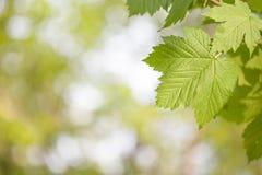 Πράσινος βγάζει φύλλα Στοκ Φωτογραφίες