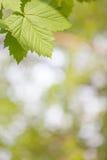 Πράσινος βγάζει φύλλα Στοκ εικόνες με δικαίωμα ελεύθερης χρήσης