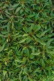 πράσινος βγάζει φύλλα Στοκ εικόνα με δικαίωμα ελεύθερης χρήσης