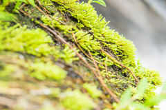 Πράσινος βρύου που ενυδατώνεται στον ήλιο Στοκ Εικόνες
