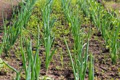 Πράσινος, γεωργία, φυτό, χλόη, τομέας, κρεμμύδι, λαχανικό, φύση, τρόφιμα, αγρόκτημα, κήπος, άνοιξη, αύξηση, φύλλο, σκόρδο, οργανι Στοκ Εικόνα