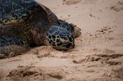 Πράσινος δείτε τη χελώνα σε μια της Χαβάης παραλία στοκ φωτογραφία