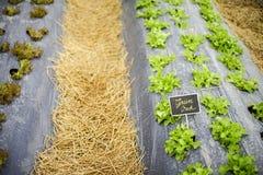 Πράσινος δρύινος τομέας μαρουλιού Στοκ Εικόνα