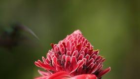 Πράσινος ερημίτης, τύπος Phaethornis, που αιωρείται δίπλα στο κόκκινο λουλούδι στον κήπο, πουλί από το caribean τροπικό δάσος, Τρ απόθεμα βίντεο