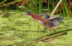 Πράσινος ερωδιός (Fishin) Στοκ Φωτογραφίες