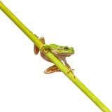Πράσινος ευρωπαϊκός βάτραχος δέντρων σε ένα μακρύ διαγώνιο ραβδί Στοκ φωτογραφία με δικαίωμα ελεύθερης χρήσης
