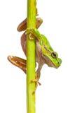 Πράσινος ευρωπαϊκός βάτραχος δέντρων που κοιτάζει κάτω Στοκ Εικόνα