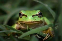 Πράσινος ευρωπαϊκός βάτραχος δέντρων, orientalis Hyla στοκ φωτογραφία