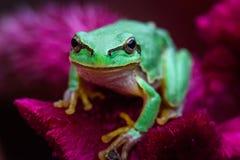 Πράσινος ευρωπαϊκός βάτραχος δέντρων, orientalis Hyla στοκ εικόνες