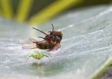 πράσινος η αράχνη θηραμάτων της Στοκ φωτογραφία με δικαίωμα ελεύθερης χρήσης