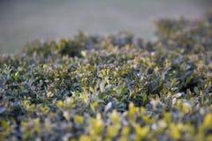 Πράσινος θάμνος με τα μέρη των μικρών φύλλων Στοκ Εικόνα