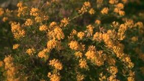 Πράσινος θάμνος που ανθίζει με τα κίτρινα λουλούδια στον ήλιο ηλιοβασιλέματος Διακοσμητική άνθιση στον ήλιο κίτρινη απόθεμα βίντεο