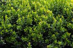Πράσινος θάμνος στον κήπο Στοκ Εικόνες