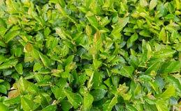Πράσινος θάμνος τους πράσινους μικρούς οφθαλμούς που καλύπτονται με με τις σταγόνες βροχής Στοκ Εικόνες