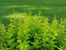Πράσινος θάμνος στοκ φωτογραφίες