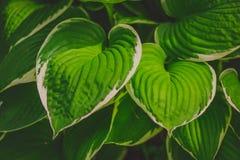 Πράσινος θάμνος Hosta Εικόνα υποβάθρου φύσης Στοκ Εικόνες