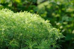 Πράσινος θάμνος Southernwood (Artemisia Abrotanum) Στοκ Εικόνες