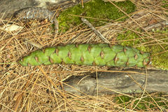 Πράσινος θηλυκός κώνος του άσπρου πεύκου στην κονσέρβα Belding σε Connectic στοκ φωτογραφίες με δικαίωμα ελεύθερης χρήσης