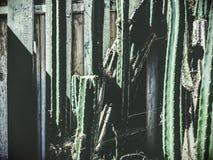 Πράσινος κάκτος με το άσπρο και πράσινο ξύλο Στοκ εικόνα με δικαίωμα ελεύθερης χρήσης