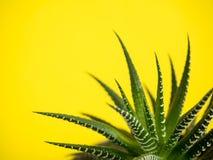 Πράσινος κάκτος σε ένα μοντέρνο κίτρινο χρωματισμένο υπόβαθρο στοκ φωτογραφία