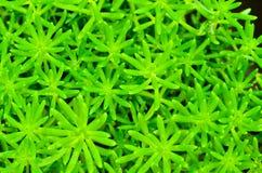 Πράσινος κάκτος Στοκ Εικόνα
