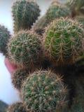 Πράσινος κάκτος Echinocereus Κινηματογράφηση σε πρώτο πλάνο στοκ εικόνα