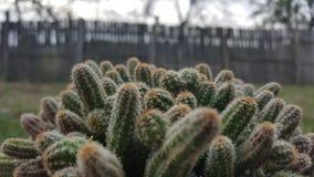 Πράσινος κάκτος flowerpot Αγκάθια κάκτων Στοκ φωτογραφία με δικαίωμα ελεύθερης χρήσης