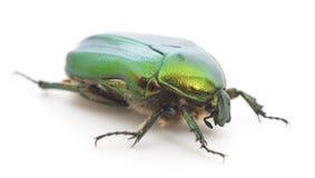 Πράσινος κάνθαρος στοκ φωτογραφία με δικαίωμα ελεύθερης χρήσης