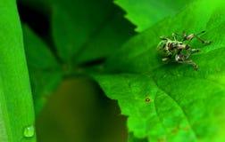Πράσινος κάνθαρος Στοκ Φωτογραφίες