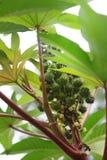 Πράσινος κάστορας - φυτό πετρελαίου Στοκ φωτογραφία με δικαίωμα ελεύθερης χρήσης