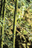 Πράσινος κάλαμος 3 μπαμπού Στοκ φωτογραφίες με δικαίωμα ελεύθερης χρήσης