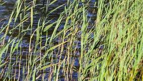 Πράσινος κάλαμος στον αέρα Η τράπεζα της μικρής λίμνης φιλμ μικρού μήκους