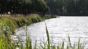 Πράσινος κάλαμος στον αέρα Η τράπεζα της μικρής λίμνης απόθεμα βίντεο