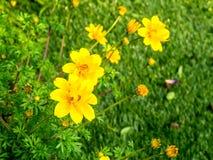 πράσινος κίτρινος λουλ&omic Στοκ εικόνες με δικαίωμα ελεύθερης χρήσης