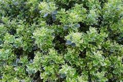 Πράσινος και άσπρος καλλιεργημένος θάμνος buxus πυξαριού sempervirens κοντά επάνω στοκ φωτογραφία με δικαίωμα ελεύθερης χρήσης