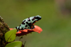 Πράσινος και μαύρος βάτραχος βελών δηλητήριων Στοκ εικόνα με δικαίωμα ελεύθερης χρήσης