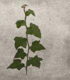 Πράσινος κισσός στην παλαιά σύσταση εγγράφου grunge παλαιά Στοκ φωτογραφίες με δικαίωμα ελεύθερης χρήσης